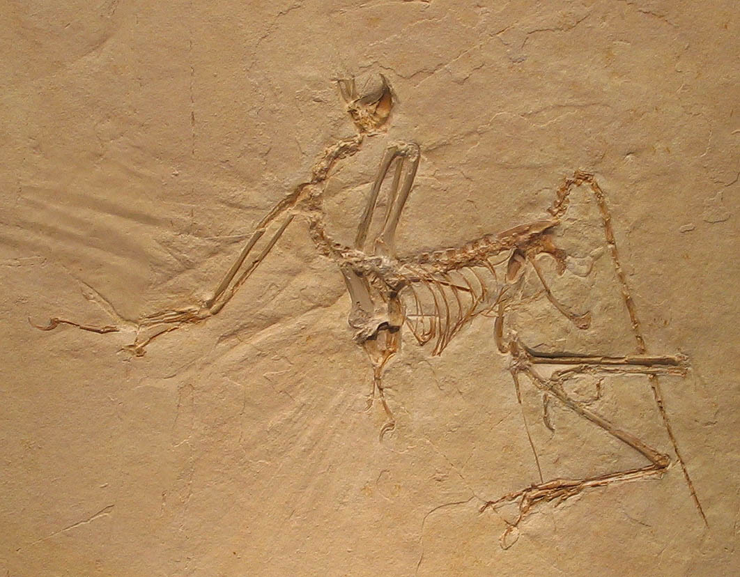 Archaeopteryx bavarica - no indication of evolution