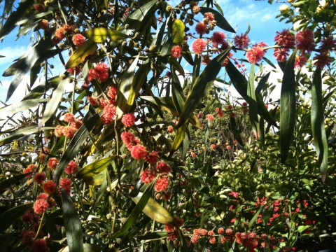 Acacia Leprosa - Scarlet Blaze
